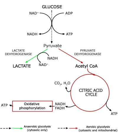 lactic acidosis Acid-base physiology 81 lactic acidosis  previous | index | next lactic acidosis is a common cause of metabolic acidosis 1,2,3 811 daily production of lactate.